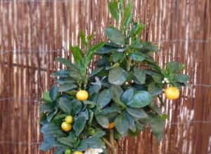 каламондин миниатюрный апельсин